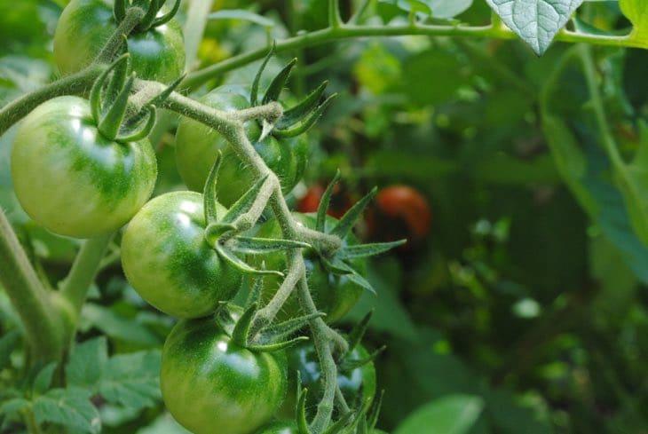 pesticida natural para plantas y hortalizas